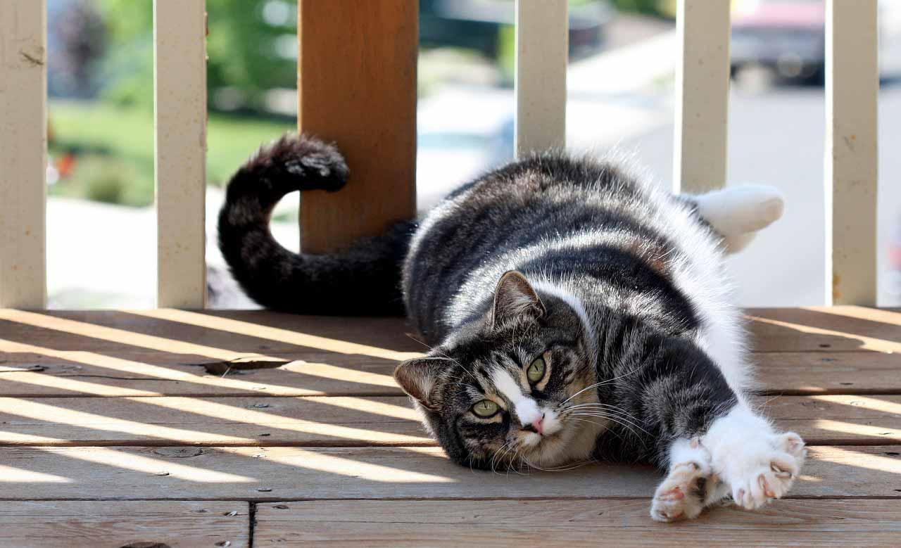 American Shorthair gatto - gatto360