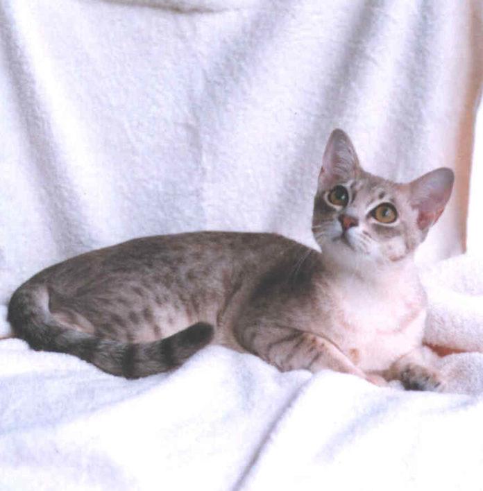 Australian Mist razza gatto - gatto360