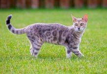 Bengala razza gatto - gatto360