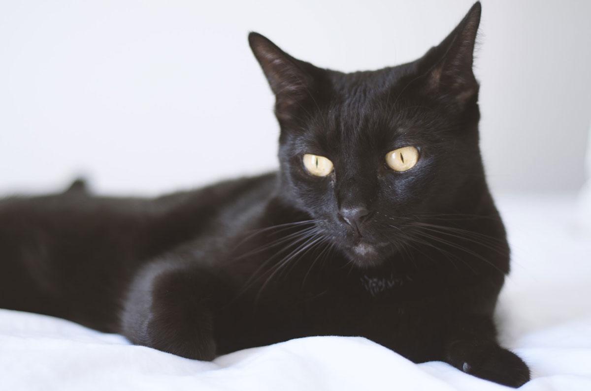 Bombay razza gatto - gatto360