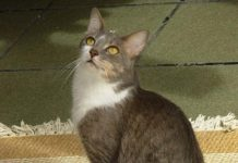 Brazilian Shorthair razza gatto - gatto360