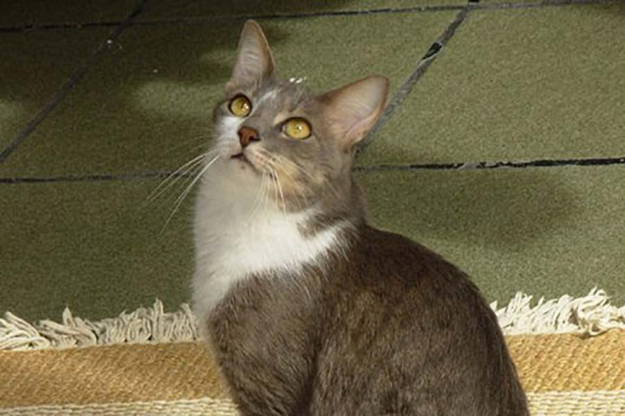 Brazilian Shorthair razza gatto - gatto360