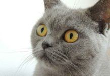 British Shorthair razza gatto - gatto360