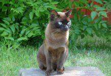 burmese razza gatto - gatto360