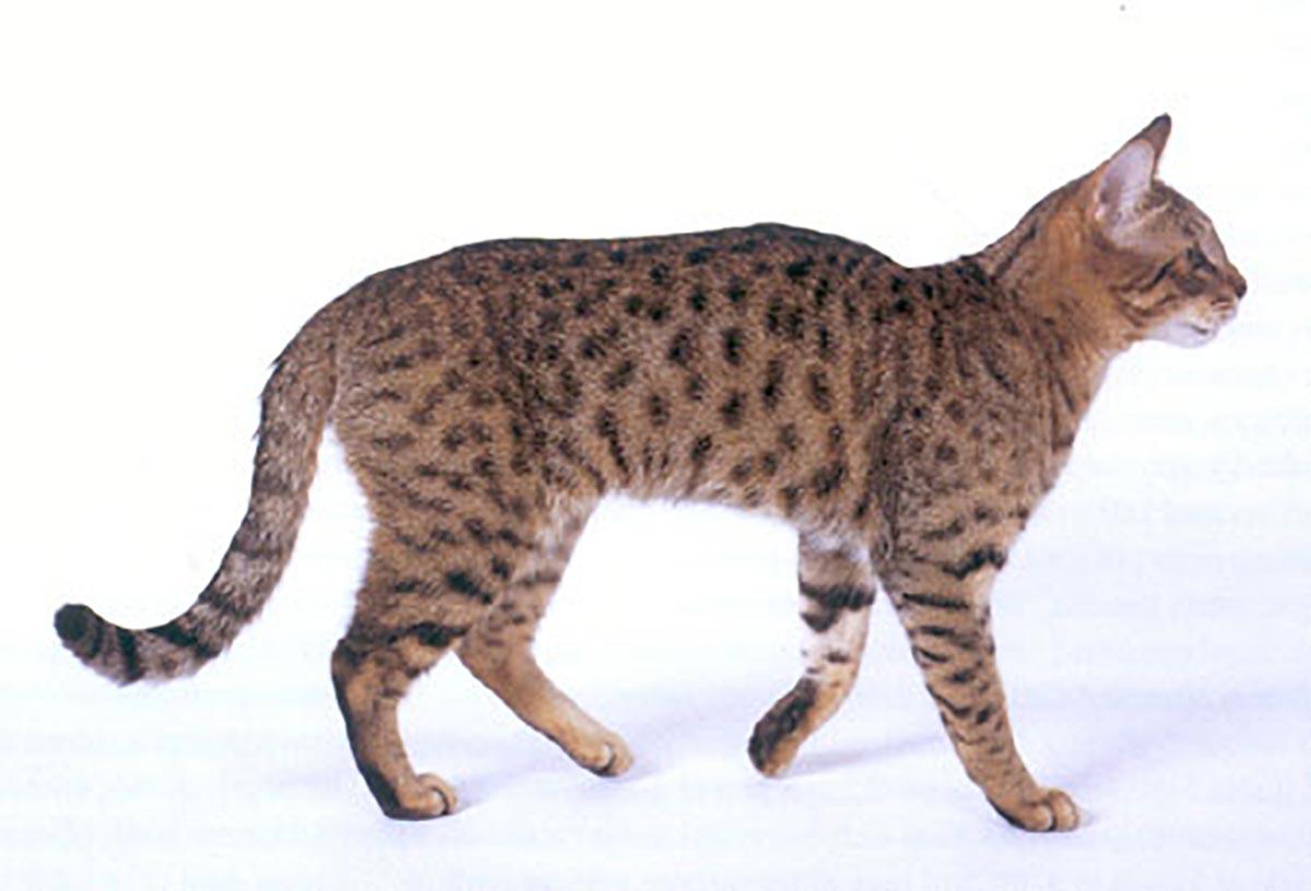 California Spangled razza gatto - gatto360