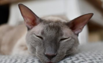 Cornish Rex razza gatto - gatto360