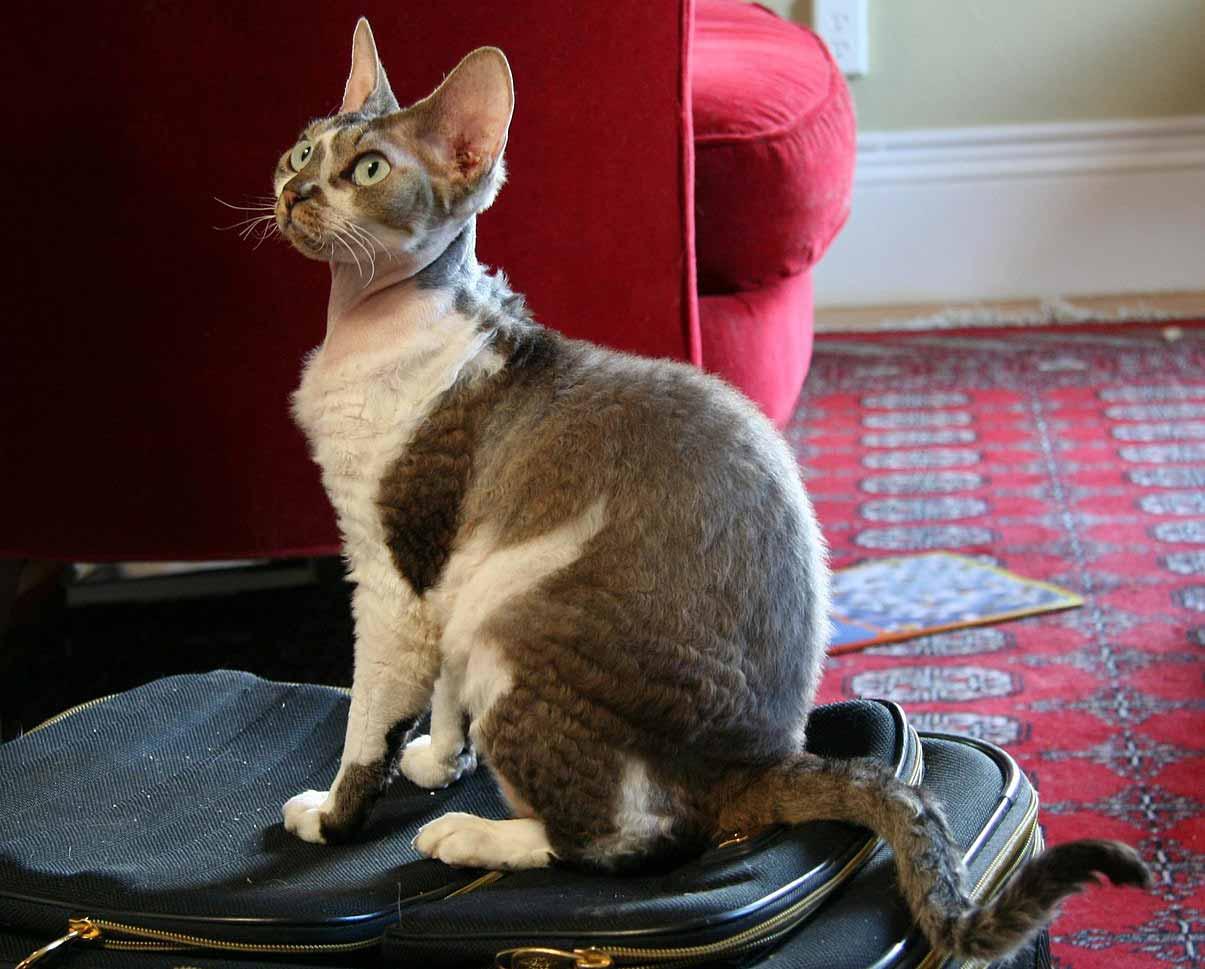 Devon Rex razza gatto - gatto360