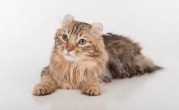 Gatto American Curl - gatto360