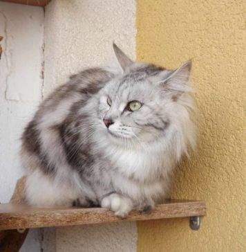 Gatto american bobtail - gatto360 ridotto