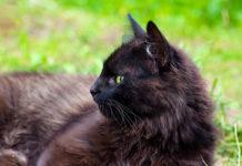 York Chocolate gatto