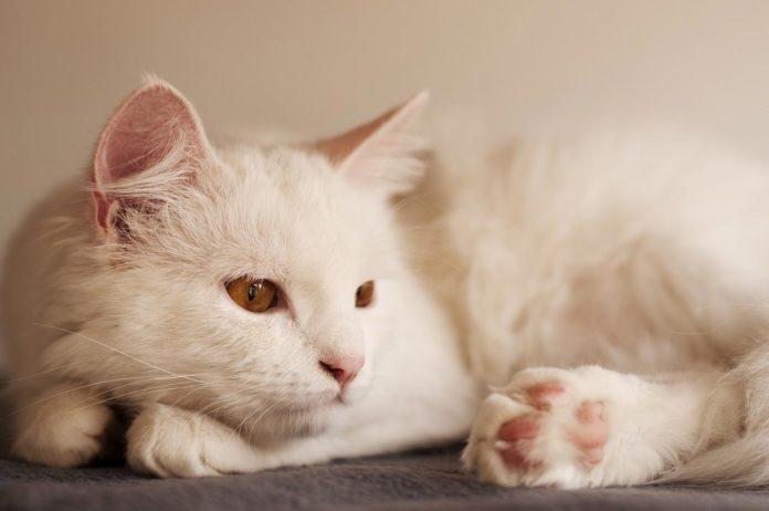 angora turco razza gatto - gatto360