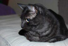 asian razza gatto - gatto360