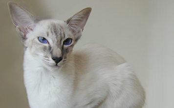 balinese razza gatto - gatto360