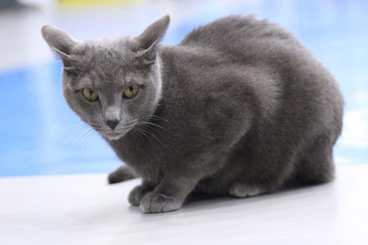 blu di russia razza gatto - gatto360