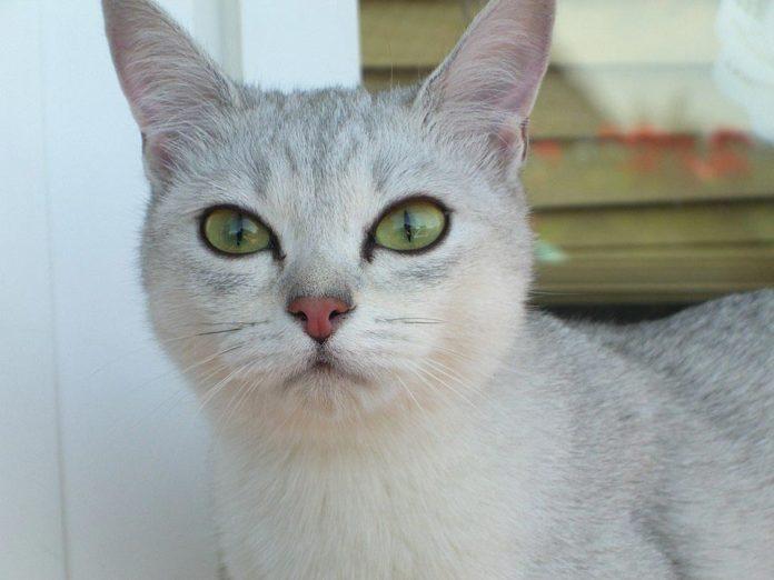 burmilla razza gatto - gatto360