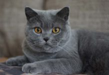 certosino razza gatto - gatto360