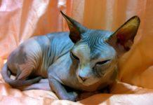 sphynx razza gatto - gatto360