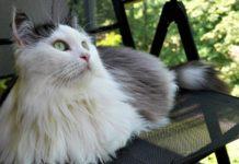 Siberiano razza gatto