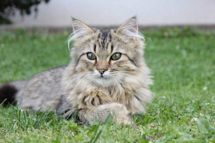 gatto norvegese delle foreste