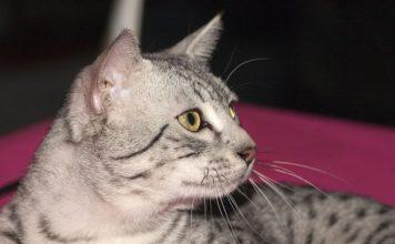 Egyptian gatto egiziano 800px