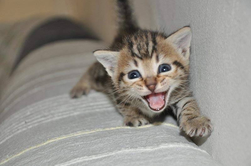 Gatto che miagola cosa significa il verso del gatto