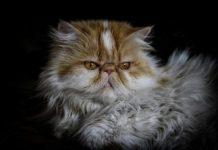 Gatto persiano - razza