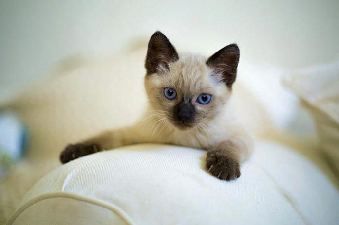 gatto siamese immagine